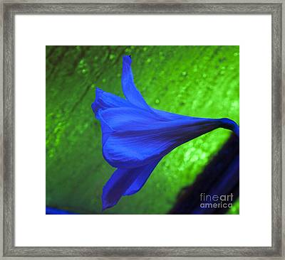 Blue Lily On Green Framed Print by Darleen Stry
