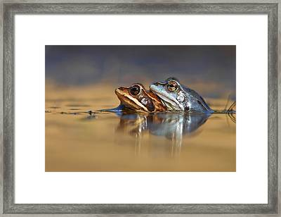 Blue Love ... Mating Moor Frogs  Framed Print by Roeselien Raimond