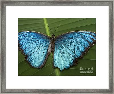 Blue Morpho - Morpho Peleides Framed Print by Heiko Koehrer-Wagner