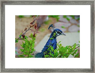 Blue Peacock Green Plants Framed Print by Jonah  Anderson