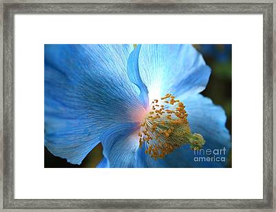 Blue Poppy Framed Print by Carol Groenen