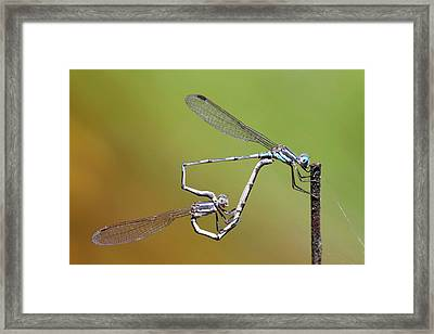 Blue Ringtail Damselflies Mating Framed Print by Gerry Pearce