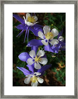 Blue Saphire Columbine Framed Print by Bruce Bley