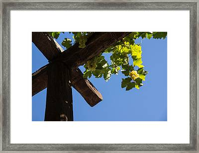 Blue Sky Grape Harvest - Thinking Of Fine Wine Framed Print by Georgia Mizuleva