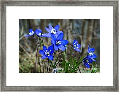 Blue Springtime Framed Print by Kennerth and Birgitta Kullman