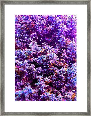 Blue Spruce In The Snow Framed Print by Ann Johndro-Collins