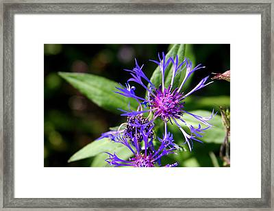 Blue Star-burst Framed Print by Paula Tohline Calhoun