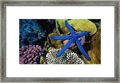 Blue Starfish Framed Print by Cole Black