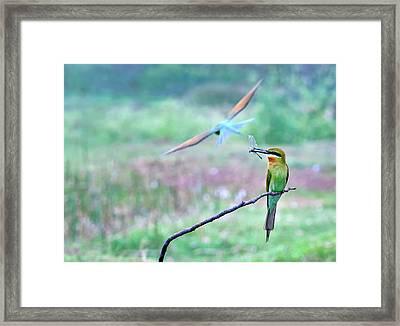 Blue-tailed Bee-eater Framed Print by K Jayaram