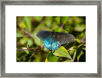 Blue Tinted Butterfly On A Leaf Framed Print by Panoramic Images