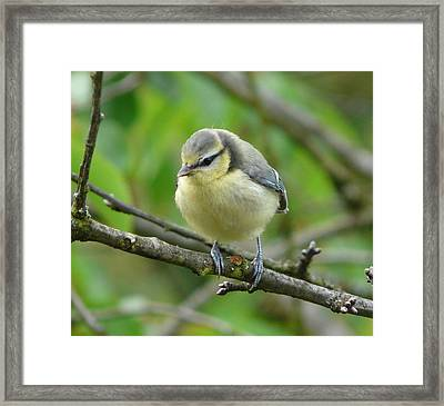 Blue Tit In A Cherry Tree Framed Print by Valerie Ornstein