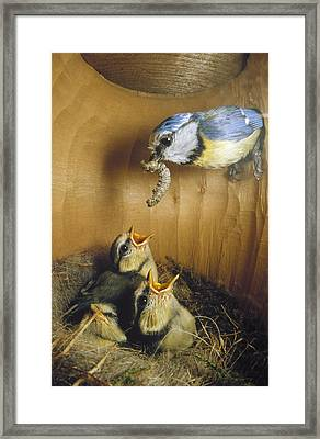Blue Tit Parent Delivering Caterpillar Framed Print by Konrad Wothe