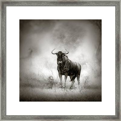 Blue Wildebeest In Rainstorm Framed Print by Johan Swanepoel