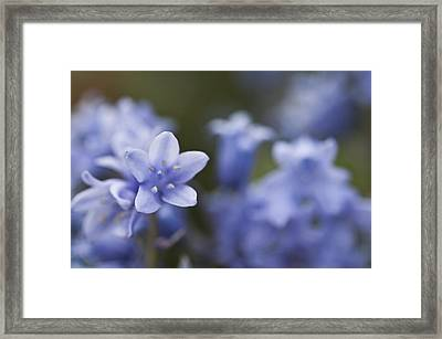 Bluebells 3 Framed Print by Steve Purnell