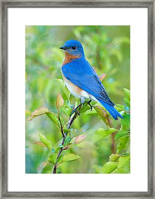 Bluebird Joy Framed Print by William Jobes