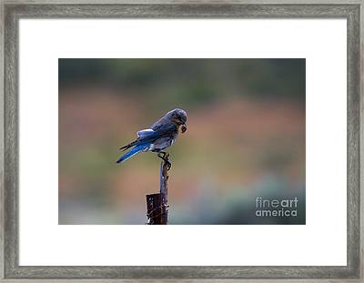 Bluebird Lunch Framed Print by Mike  Dawson