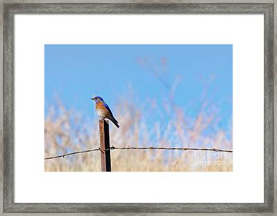 Bluebird On A Post Framed Print by Mike  Dawson