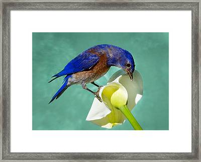 Bluebird On Calla Lily Framed Print by Jean Noren