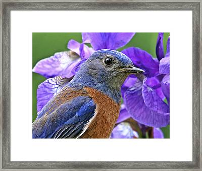 Bluebird Portrait Framed Print by Jean Noren