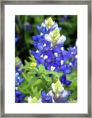 Bluebonnets Blooming Framed Print by Stephen Anderson