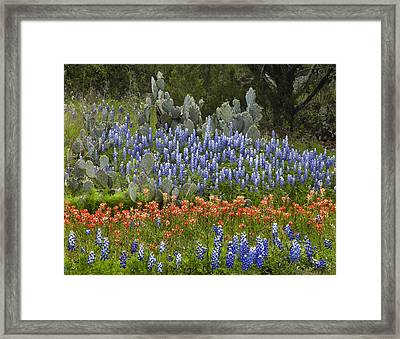 Bluebonnets Paintbrush And Prickly Pear Framed Print by Tim Fitzharris