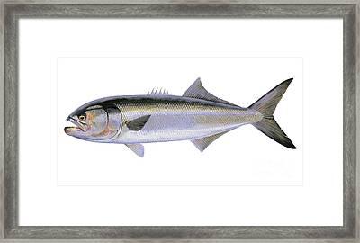 Bluefish Framed Print by Carey Chen