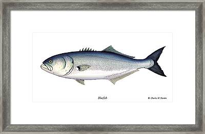 Bluefish Framed Print by Charles Harden