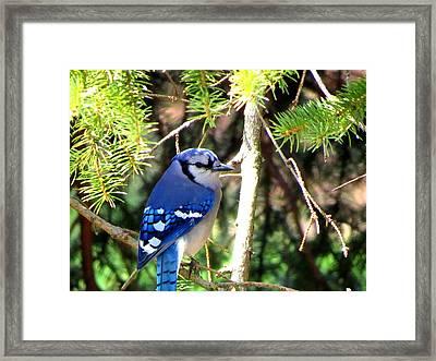 Bluejay Framed Print by Stephen Melcher
