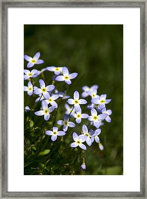 Bluet Flowers Framed Print by Christina Rollo