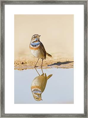 Bluethroat (luscinia Svecica) Framed Print by Photostock-israel