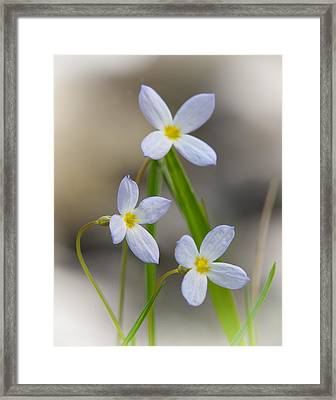 Bluets IIi Framed Print by Neal Blizzard