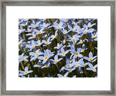 Bluets Framed Print by Lara Ellis
