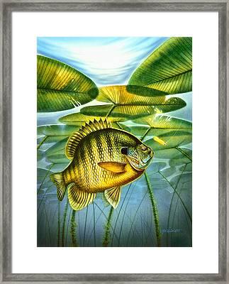 Blugill And Lilypads Framed Print by Jon Q Wright