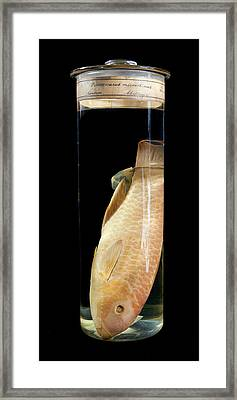 Blunt-head Parrotfish Framed Print by Natural History Museum, London