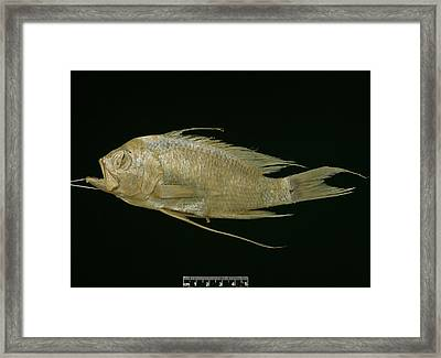Blunt Headed Holy Fish Framed Print by Natural History Museum, London