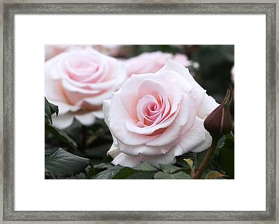 Blush Pink Roses Framed Print by Rona Black