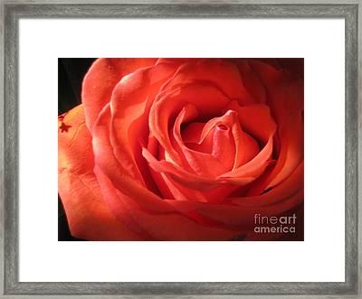 Blushing Orange Rose 1 Framed Print by Tara  Shalton