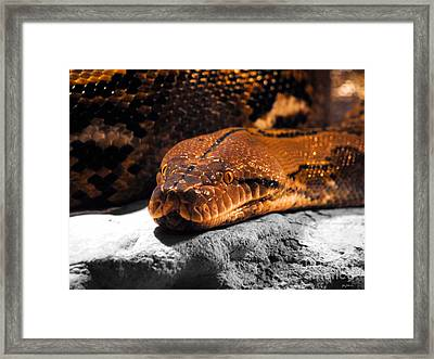 Boa Constrictor Framed Print by Jai Johnson
