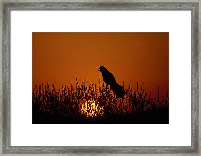 Boat-tailed Grackle Cassidix Mexicanus Framed Print by Panoramic Images