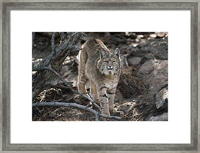 Bobcat Adult Portrait Montana Framed Print by Tim Fitzharris