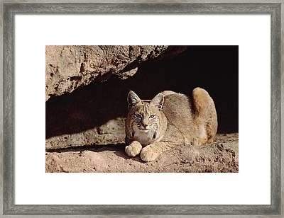 Bobcat Adult Resting On Rock Ledge Framed Print by Tim Fitzharris