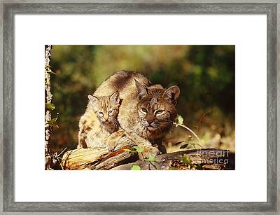 Bobcat And Young, Montana Framed Print by Art Wolfe