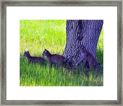 Bobcat Cubs Framed Print by Diana Berkofsky
