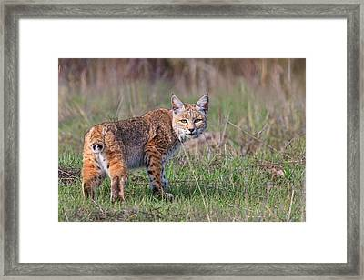Bobcat Glance Framed Print by Beth Sargent