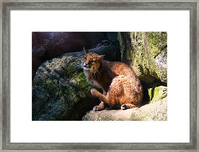 Bobcat Grooming Itself Framed Print by Chris Flees