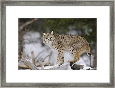 Bobcat In Winter Colorado Framed Print by Konrad Wothe