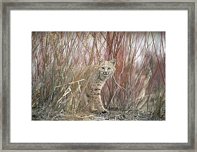 Bobcat Juvenile Emerging From Dry Grass Framed Print by Michael Quinton