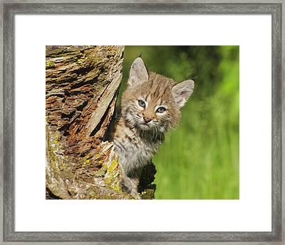 Bobcat Kitten  Felis Rufus  Peeks Framed Print by Rebecca Grambo