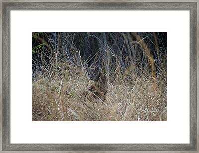 Bobcat Kitten In The Underbrush Framed Print by Scott Lenhart