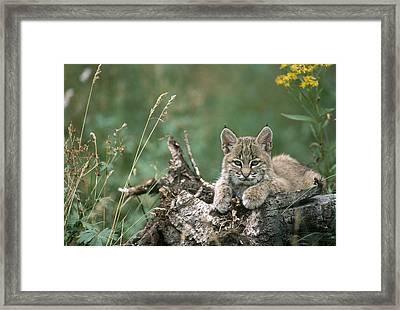 Bobcat Kitten Resting On A Log Idaho Framed Print by Michael Quinton